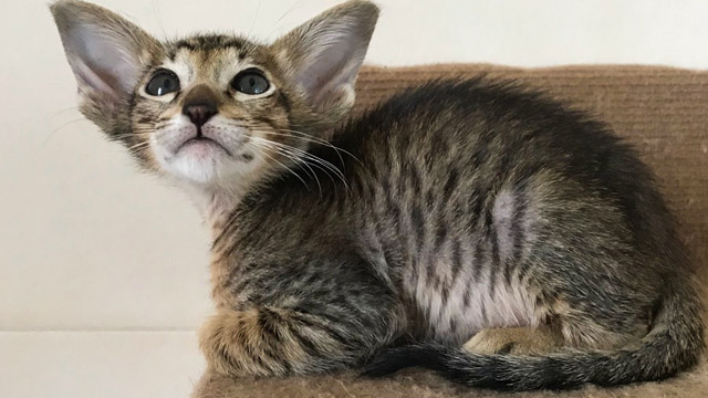 Ориентальный пятнистый котик 7