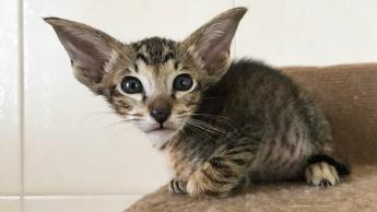 Ориентальный пятнистый котик 2