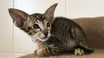 Ориентальный пятнистый котик 5