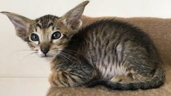 Ориентальный пятнистый котик 6