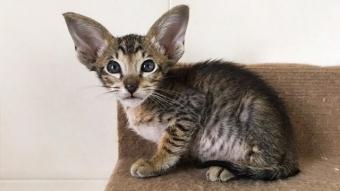 Ориентальный пятнистый котик 8