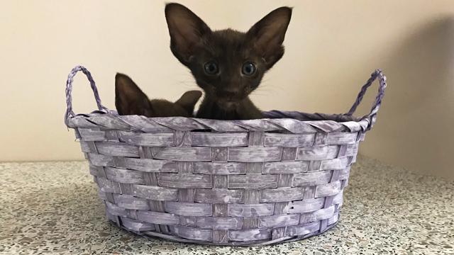 Котята чёрного, шоколадного и циннамон 2