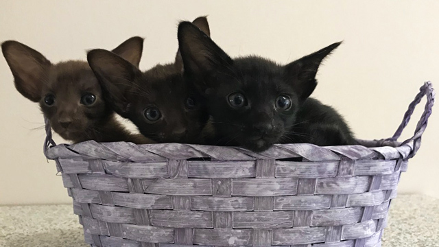 Котята чёрного, шоколадного и циннамон 3