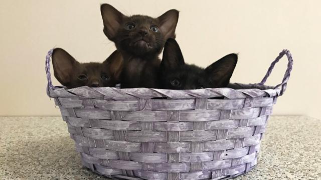 Котята чёрного, шоколадного и циннамон 5