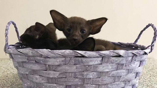 Котята чёрного, шоколадного и циннамон 6