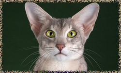 Здоровье ориентальной кошки