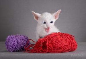 купить ориентального котёнка в Москве
