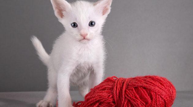 Белый котик ориентальной породы