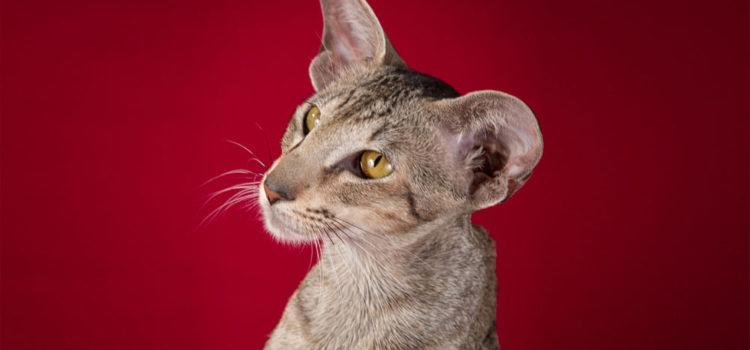 Чем кормить кастрированного ориентального котенка