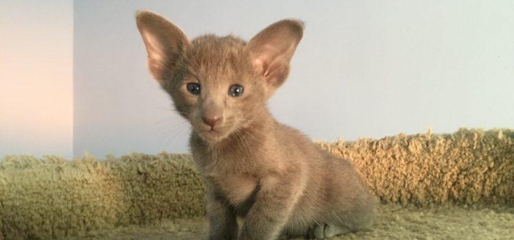 Котик ориентальной породы, голубого окраса