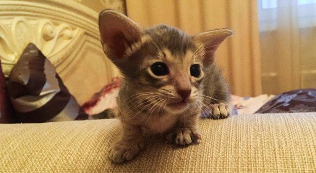 Котик и кошечки ориентальной породы