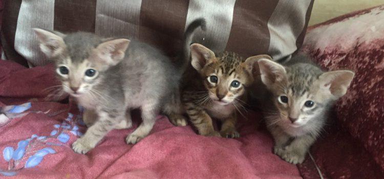 Два мальчика и девочка — котята ориентальной породы