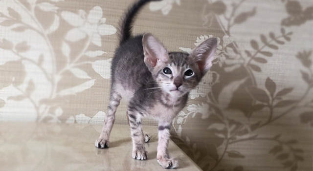 Ориентальный котёнок — талисман в вашем доме!
