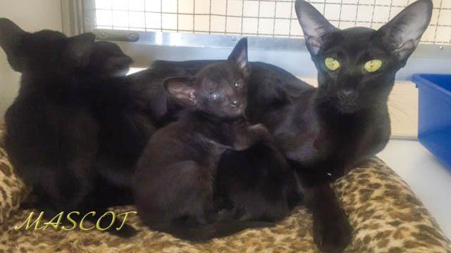 черные ориентальные котята