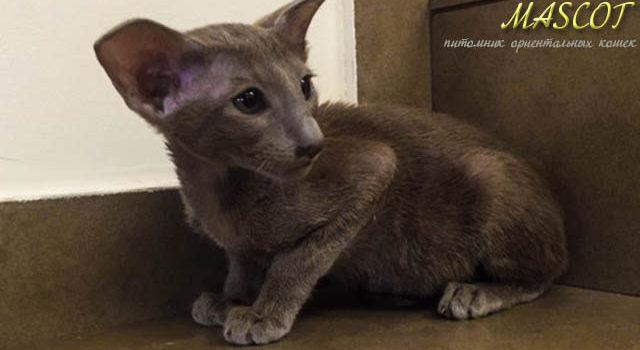 Добро пожаловать в питомник ориентальных котят — MASCOT
