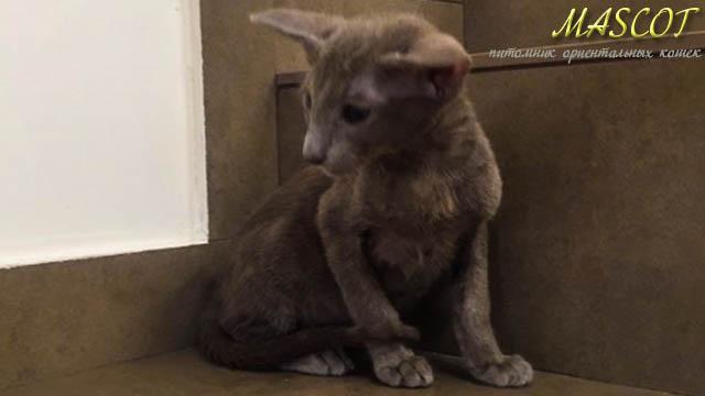 Котик лилового окраса в супер экстремальном типе