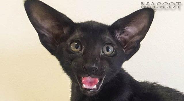Котик и кошечка эбони окраса с зелёными глазками