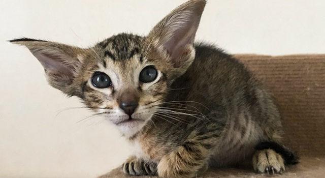 Ориентальный котик пятнистого окраса