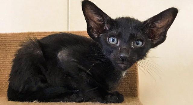 Ориентальные котик и кошечка черного окраса