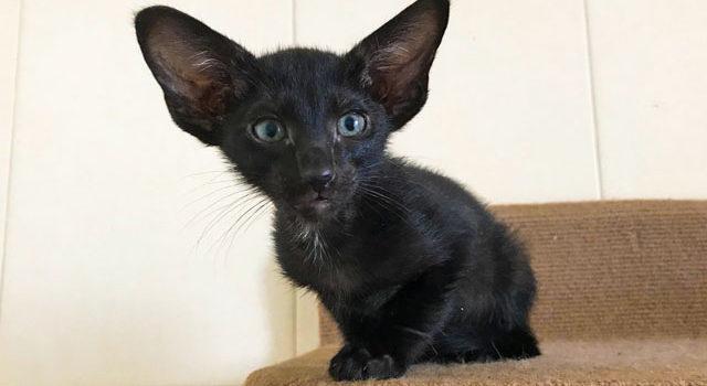 Котик и кошечка — ориенталы, черного окраса