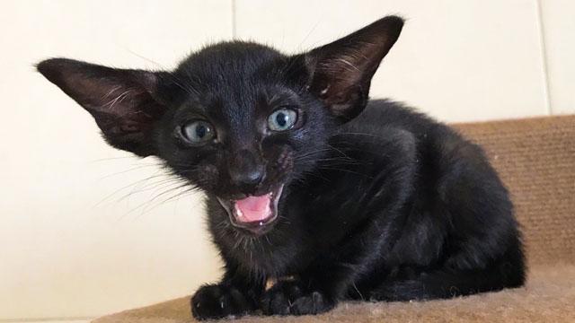 Котик и кошечка - ориенталы, черного окраса