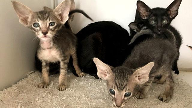 Ориентальные котята чёрного, шоколадного окраса, голубое пятно