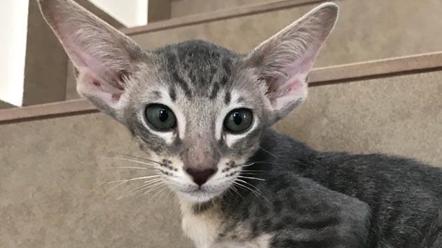 Ориентальные котята голубое пятно