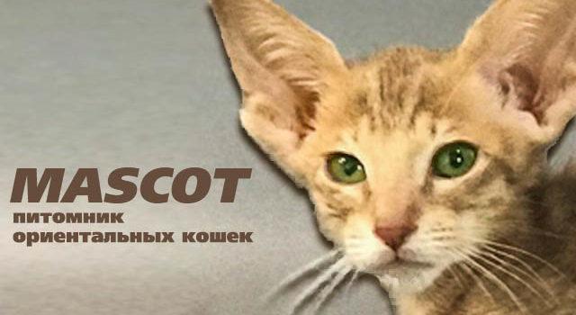 Ориентальный кот фавн пятно — доступен к продаже!