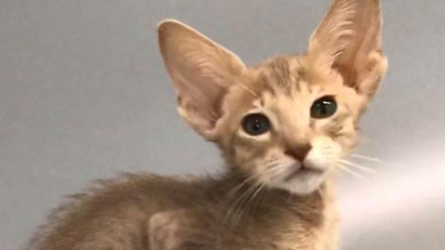 Ориентальный кот фавн пятно - доступен к продаже!