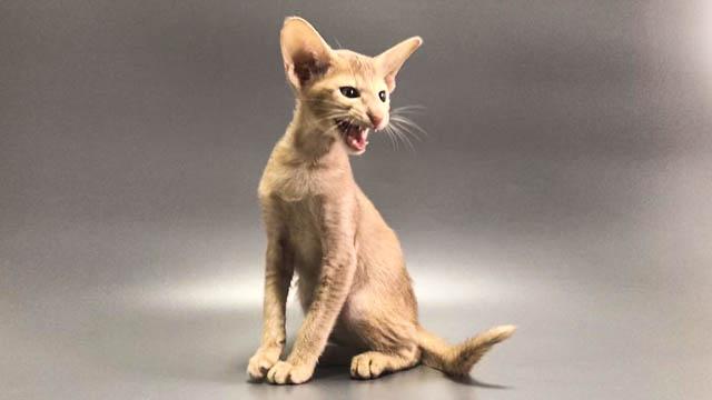 В продаже ориентальный котенок фавн окраса