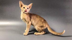 Хочу купить ориентального котёнка!