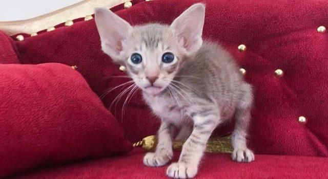 Ориентальный котик лиловое пятно