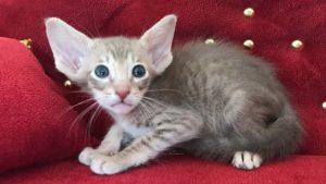 Ориентальный кот лиловое пятно