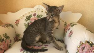 Продаётся ориентальный котенок голубое пятно