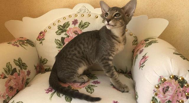 У нас можно купить ориентального котика, голубое пятно