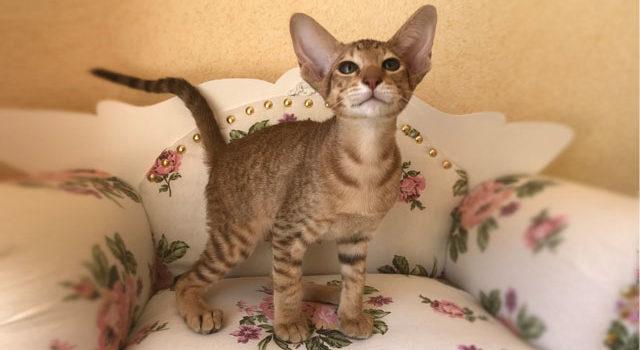 Ориентальный котик, шоколадное пятно