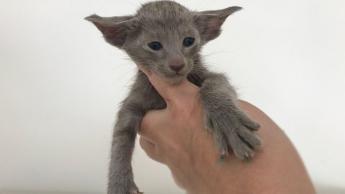 Котик голубого окраса 1