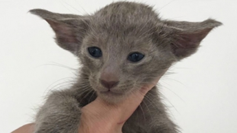 Котик голубого окраса 4