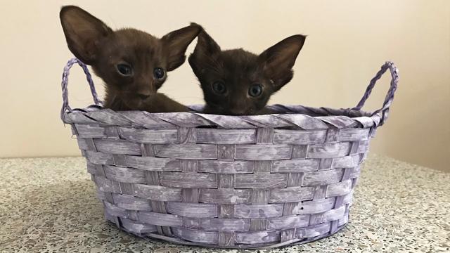 Котята чёрного, шоколадного и циннамон 1