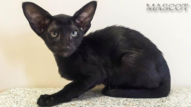 Котята Черного окраса (эбони), котик и кошечка с зелёными глазками 10