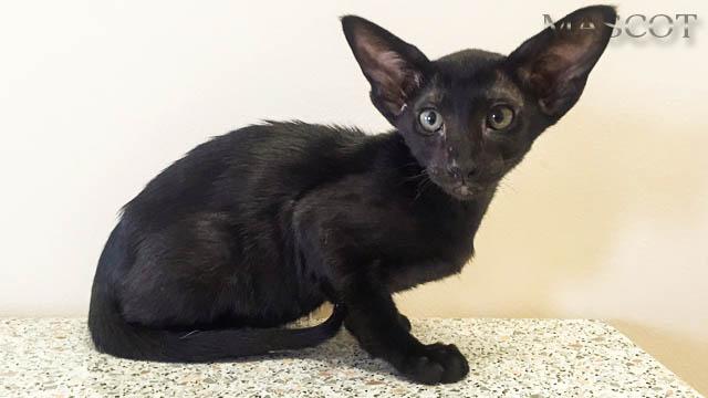 Котята Черного окраса (эбони), котик и кошечка с зелёными глазками 2