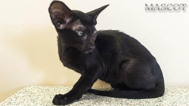 Котята Черного окраса (эбони), котик и кошечка с зелёными глазками 7
