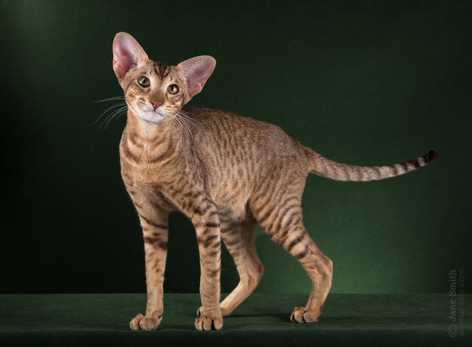 Character Oriental cat breed