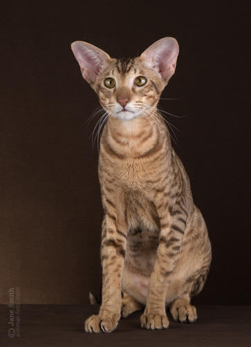 Photos oriental cat Boris