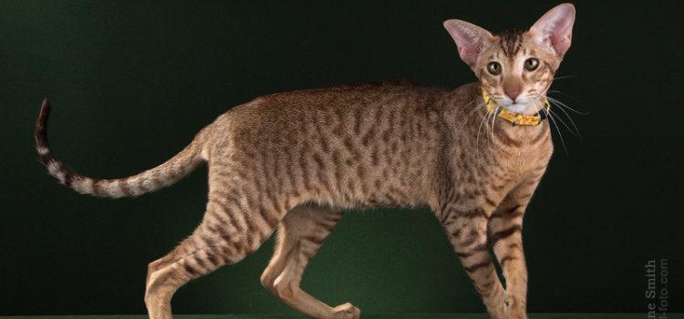 Характер кота ориентала