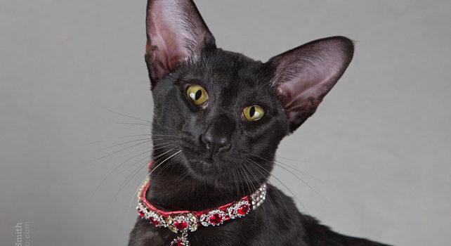 Moris — ориентальный кот-производитель питомника MASCOT