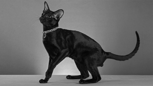 Cat Oriental breeds. Moris