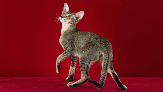 The history of oriental breed