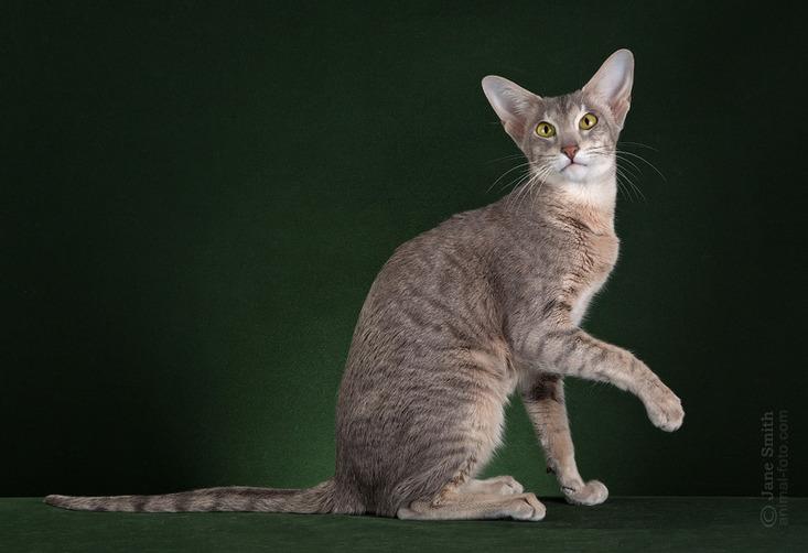 Oriental Cat Breed - Solita. Beauty Oriental cat breed