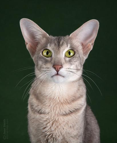 Oriental Cat Breed - Solita